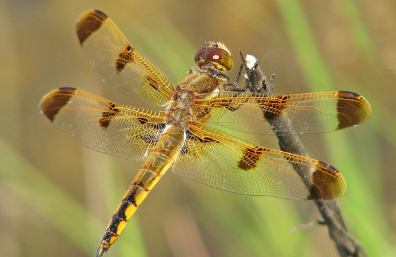 Изменения климата сократят площадь темных участков на крыльях самцов стрекоз