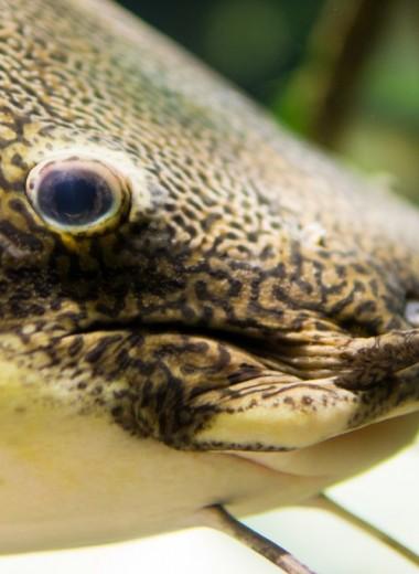 В желудке австралийских сомов обнаружили остатки тушканчиковых мышей