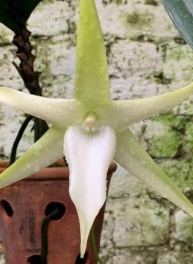 В Ботаническом саду МГУ расцвела Звезда Дарвина