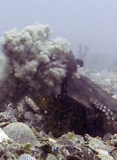 Самки осьминогов бросаются в самцов предметами, чтобы избавиться от назойливых ухаживаний