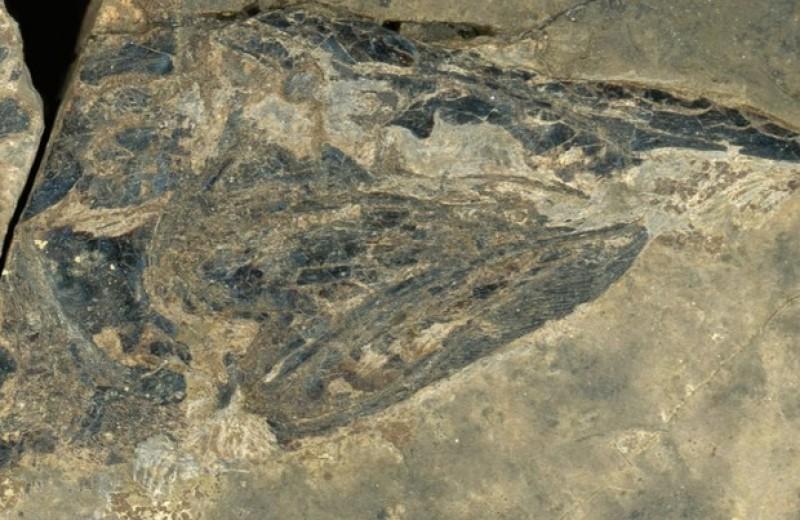 Древняя «щука» оказалась экологическим аналогом осетра