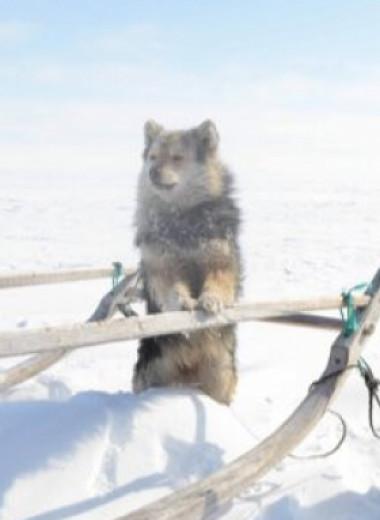 Сибирские арктические собаки скрестились со степными и научились пасти оленей