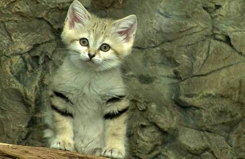 10 самых редких и необычных видов диких кошек