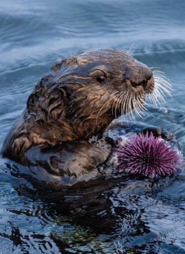 Каланы защитили от морских ежей остатки калифорнийских водорослевых лесов