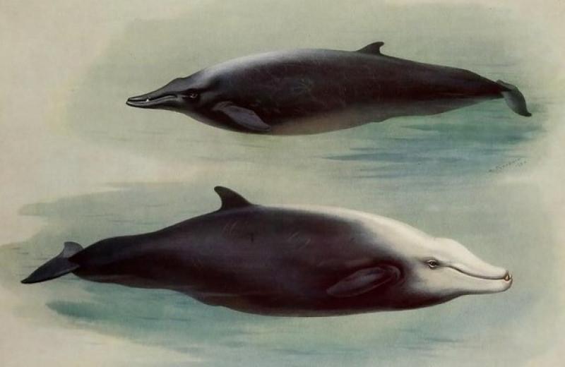 Клюворыл провел под водой рекордные три часа сорок две минуты