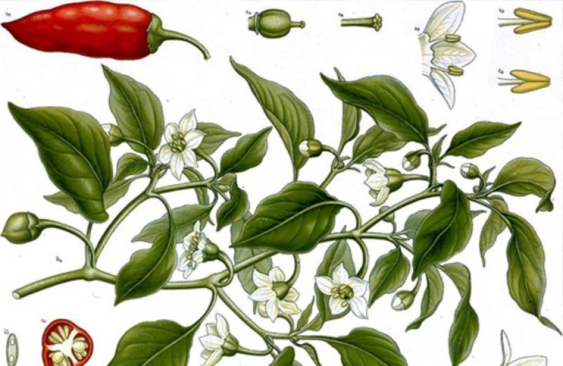 Генетики реконструировали распространение перца по торговым путям XVI века