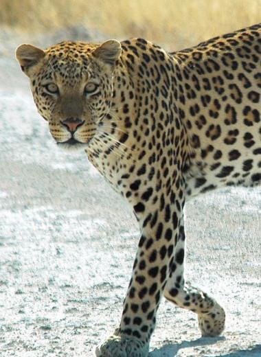 На юго-западе Камеруна впервые за 20 лет замечен леопард