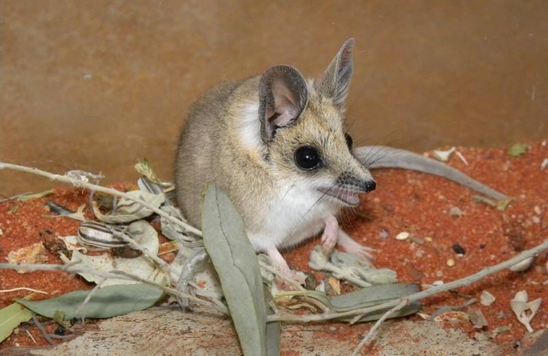Звери дня: жирнохвостые сумчатые мыши и их ползучие эмбрионы