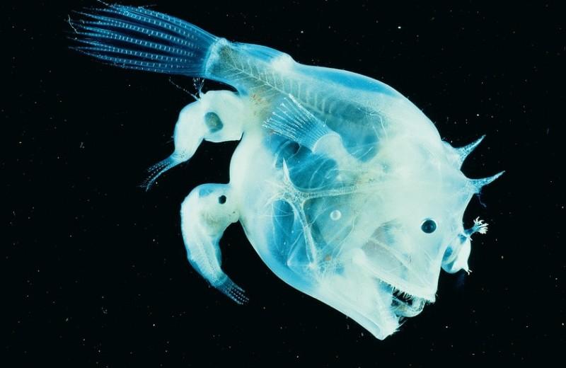 Самцы паразитируют на самках: 5 примеров из дикой природы