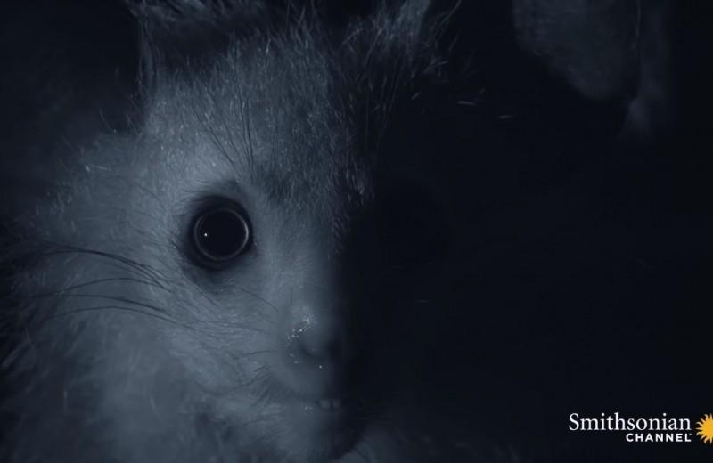 Ночная охота руконожки: жутковатое видео