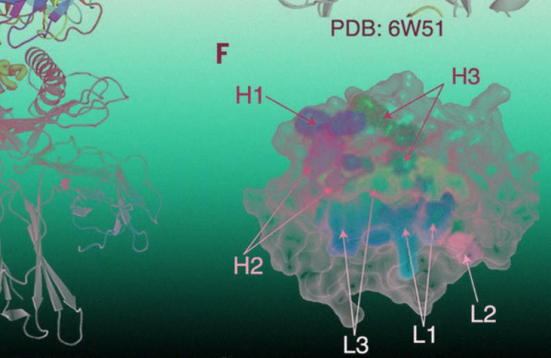 Антитела опознали раковые клетки с распространенной мутацией по замене одной аминокислоты