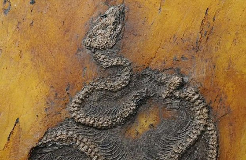 В Германии обнаружили останки древнейшего питона возрастом 47 миллионов лет