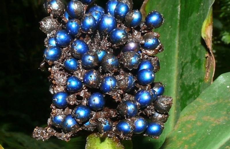Как плоды Pollia condensata сохраняют свой цвет десятки лет?