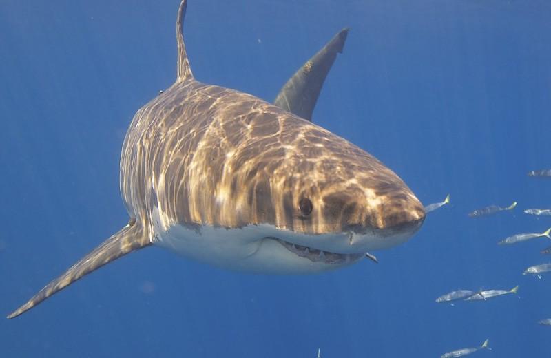 Почему белые акулы исчезли из вод Южной Африки?