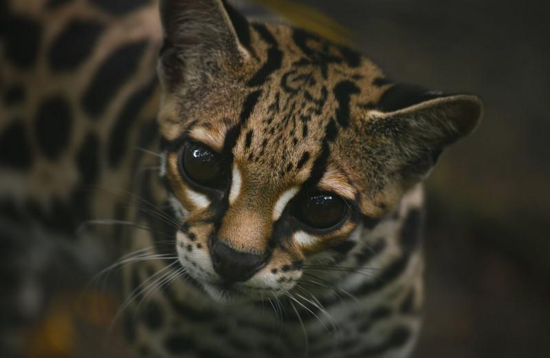 Неизвестные дикие кошки: маргай