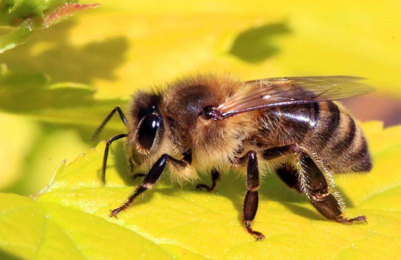 Яд медоносных пчел оказался мощнейшим средством против рака молочной железы