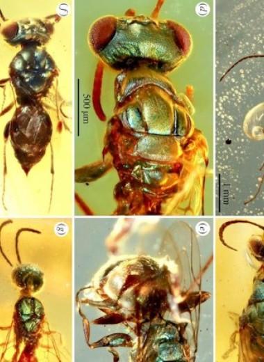 Палеонтологи разглядели цвета мезозойских насекомых из янтаря