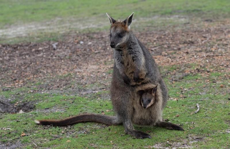 Болотный валлаби: животное, которое всегда беременно