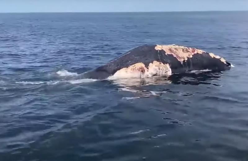 Белые акулы пируют на туше горбатого кита: видео