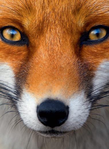 Союз рыжих: как лисы стали привычными дикими спутниками человека