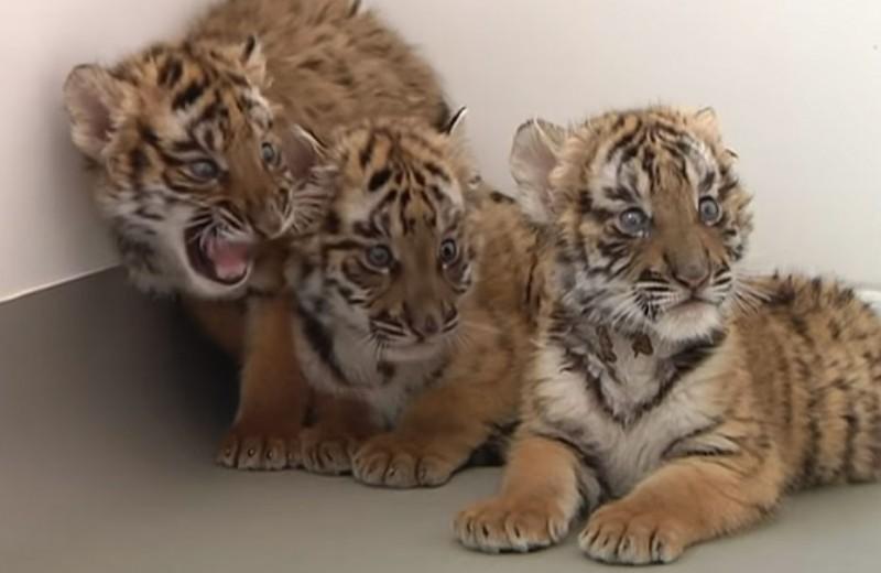 Как в Китае ухаживают за тигрятами исчезающего вида: видео