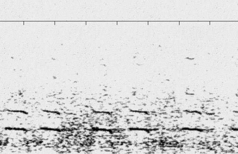 На повышенных тонах: история самого одинокого кита на свете