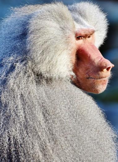 Бабуинов, проживших полгода со свиным сердцем, усыпили после завершения эксперимента