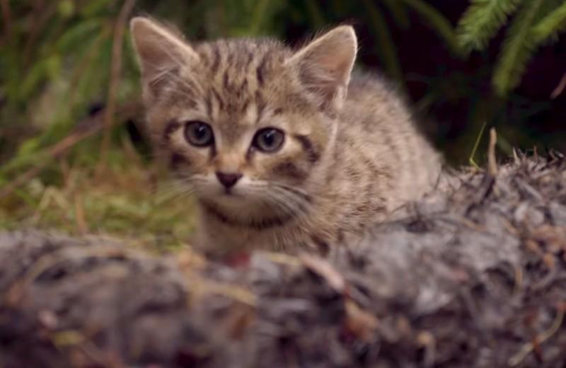 Два шотландских лесных котенка спасены в горах