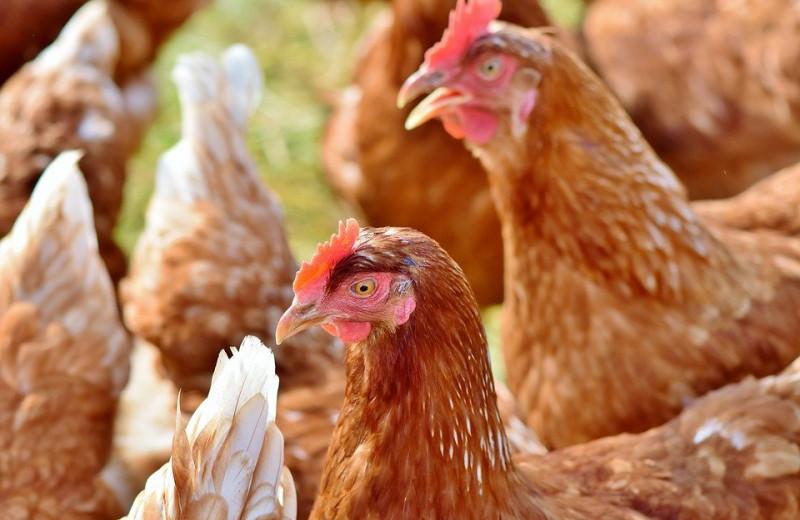 Одомашнивание уменьшило мозг куриц и сделало их менее пугливыми