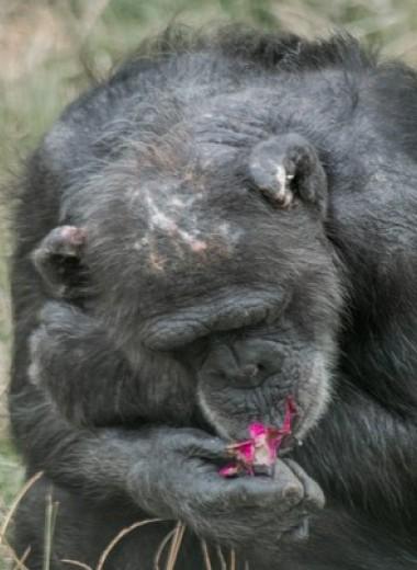Седина шимпанзе оказалась не связана со старостью