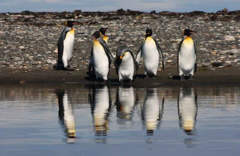 Родиной современных пингвинов назвали Австралию и Новую Зеландию