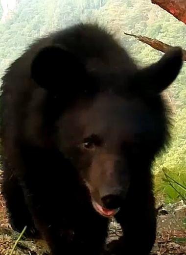 Гималайский медведь испытывает фотоловушку на прочность: видео