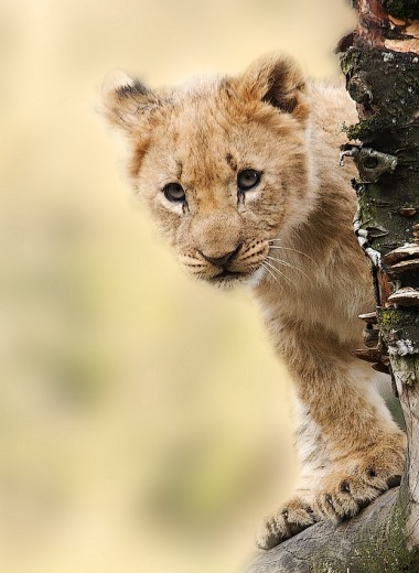 Смертельная болезнь, распространенная у домашнего скота, впервые обнаружена у львят