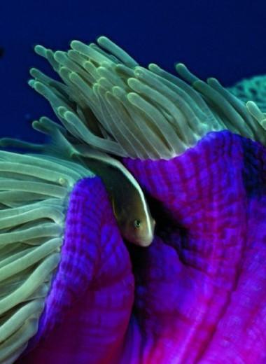 Межвидовая дружба рыбы-клоуна и актинии