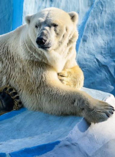 Около 700 км без отдыха: рекордный заплыв белого медведя