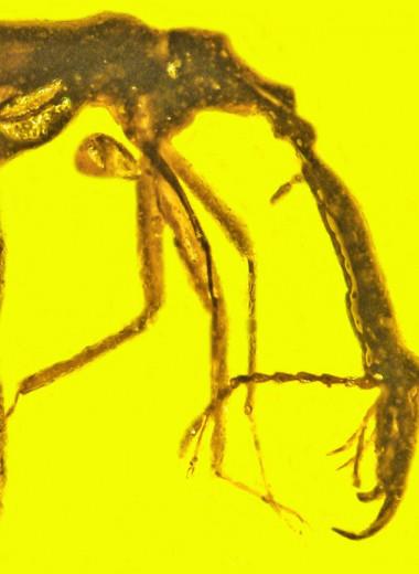 В янтаре найден «мамонт среди долгоносиков»