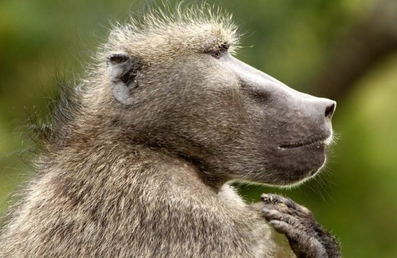 Медвежьи павианы увидели в зоологах сородичей высокого ранга