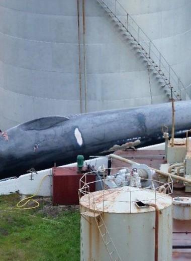 В Исландии убит редкий кит: что известно на данный момент