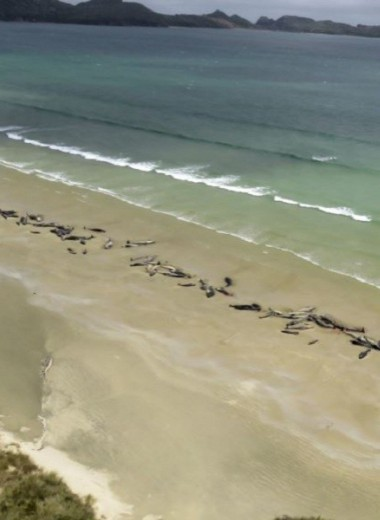 145 дельфинов-гринд выбросились на берег в Новой Зеландии