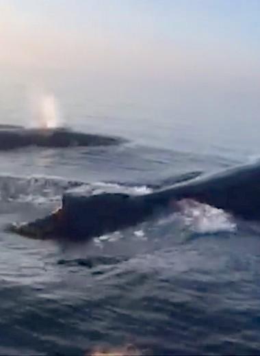 Три горбатых кита одновременно выпрыгивают из воды: видео