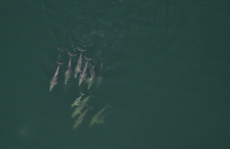 Австралийские дельфины-афалины включили себя в большие команды