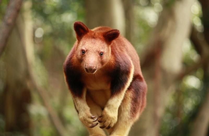Древесные кенгуру: сумчатые, забравшиеся на деревья