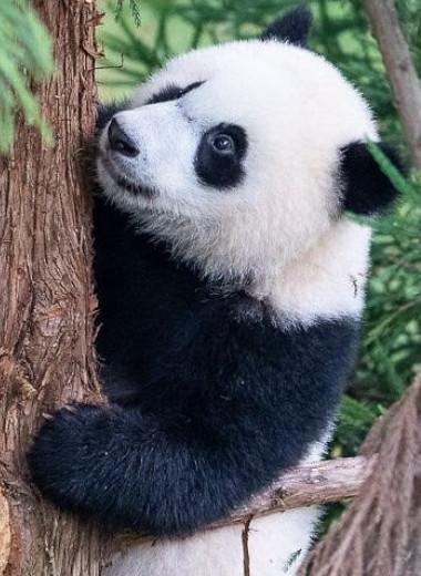 Школа для панды: как юный бамбуковый медведь учится новому