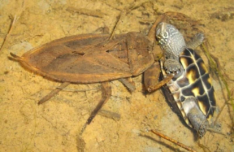 Хищные клопы-гиганты: как насекомые могут охотиться на черепах