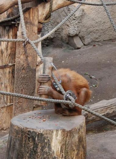 Орангутанам дали молотки: что из этого получилось