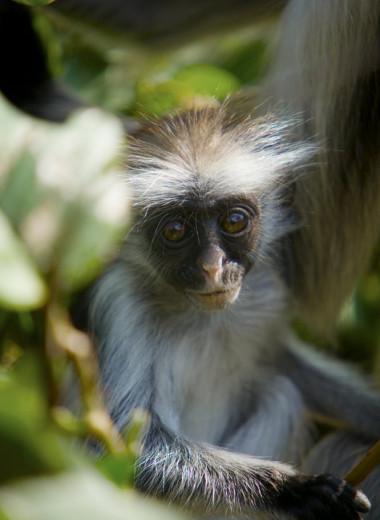 Неожиданный способ спасти редких приматов