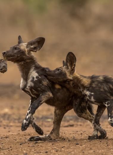 «Расписные волки» стали охотиться на бабуинов: редкие фото
