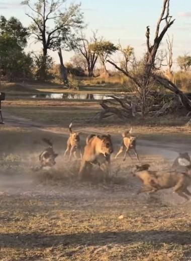 Львица спасает детеныша от стаи собак: видео