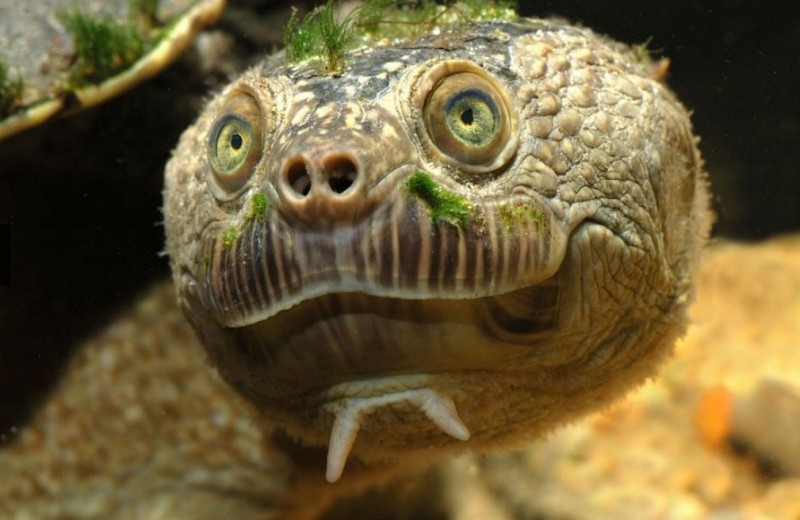Черепаха-панк: удивительный обитатель австралийской реки