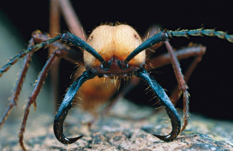 «Планировать по муравьям»: как птицы пользуются муравьями-кочевниками